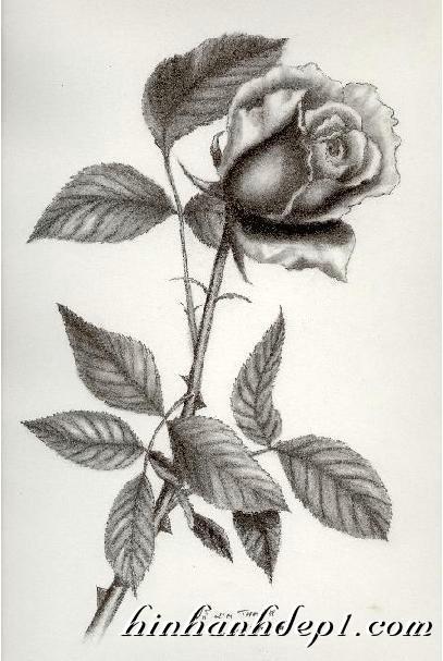 Ảnh hoa hồng vẽ bằng bút chì