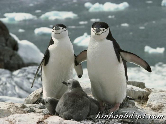 Hình ảnh đẹp full HD của loài động vật chim cánh cụt cùng với gia đình