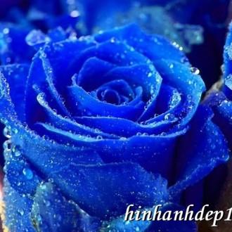 Chùm ảnh nền hoa hồng tuyệt đẹp