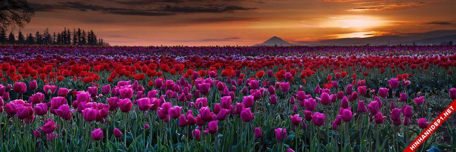 hinh-nen-hoa-tulip-full-hd-cuc-dep-cho-may-tinh (10)