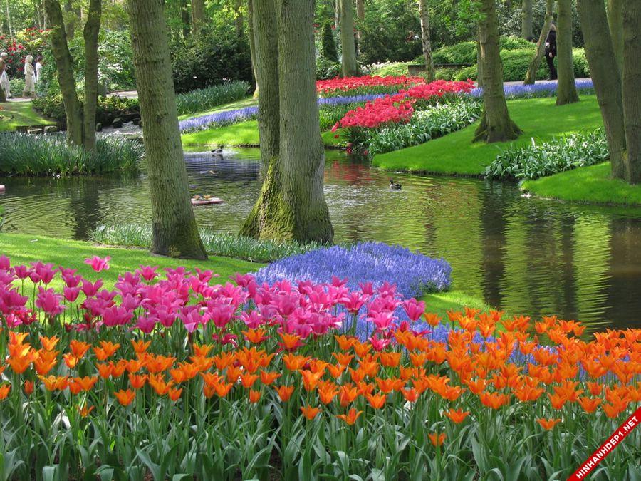 hinh-nen-hoa-tulip-full-hd-cuc-dep-cho-may-tinh (11)