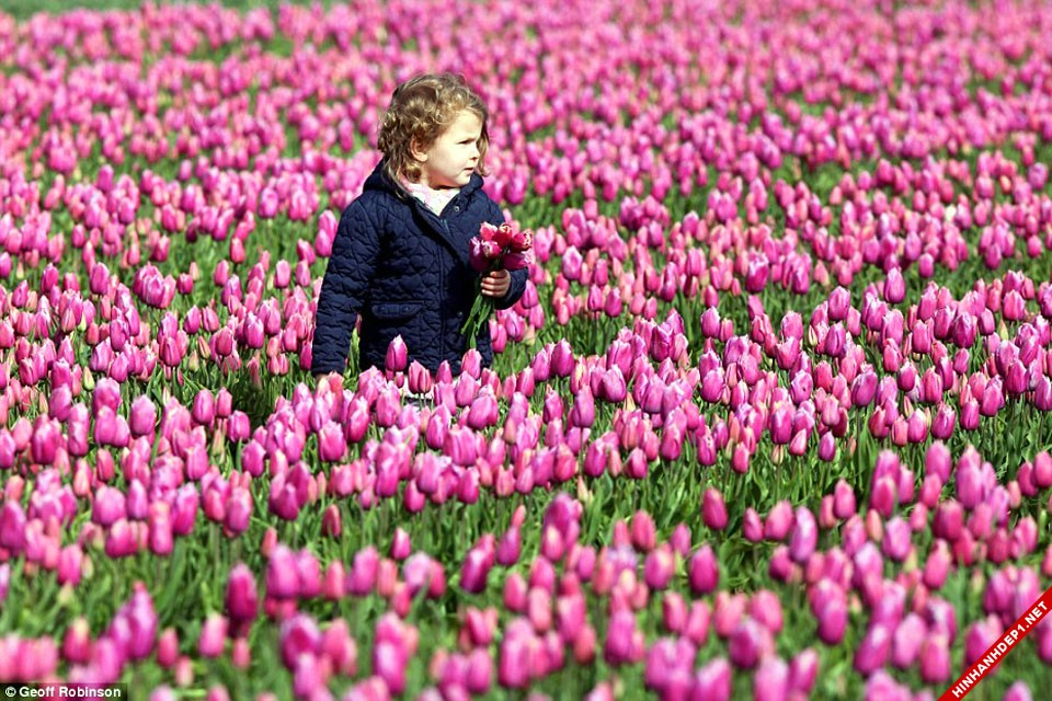 hinh-nen-hoa-tulip-full-hd-cuc-dep-cho-may-tinh (15)