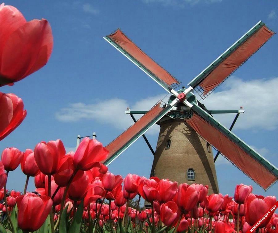 hinh-nen-hoa-tulip-full-hd-cuc-dep-cho-may-tinh (16)