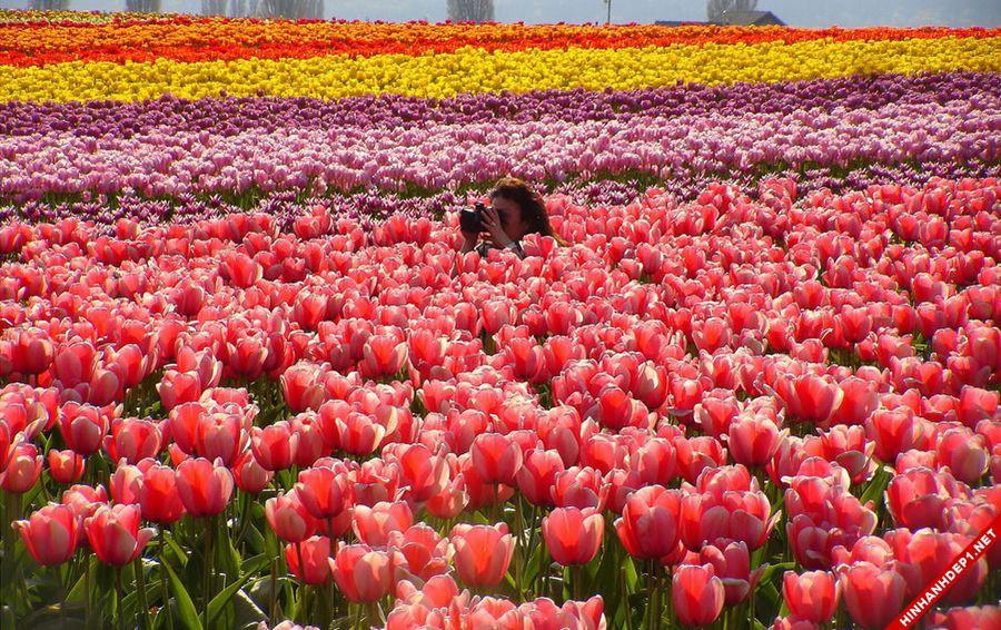 hinh-nen-hoa-tulip-full-hd-cuc-dep-cho-may-tinh (17)