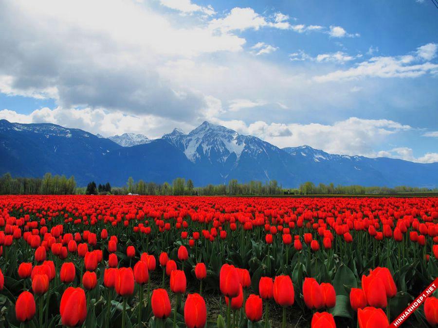hinh-nen-hoa-tulip-full-hd-cuc-dep-cho-may-tinh (18)