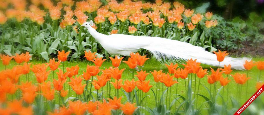 hinh-nen-hoa-tulip-full-hd-cuc-dep-cho-may-tinh (19)