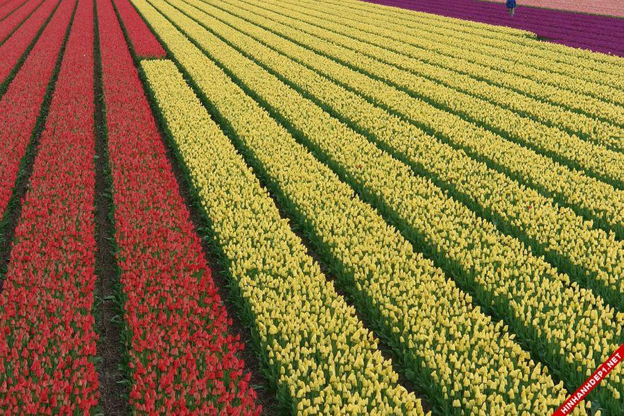 hinh-nen-hoa-tulip-full-hd-cuc-dep-cho-may-tinh (2)