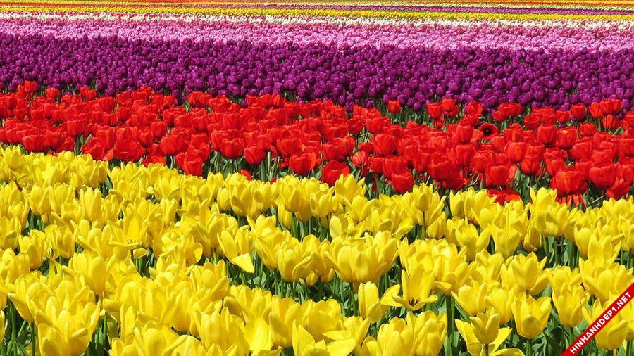 hinh-nen-hoa-tulip-full-hd-cuc-dep-cho-may-tinh (20)