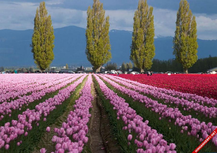 hinh-nen-hoa-tulip-full-hd-cuc-dep-cho-may-tinh (21)