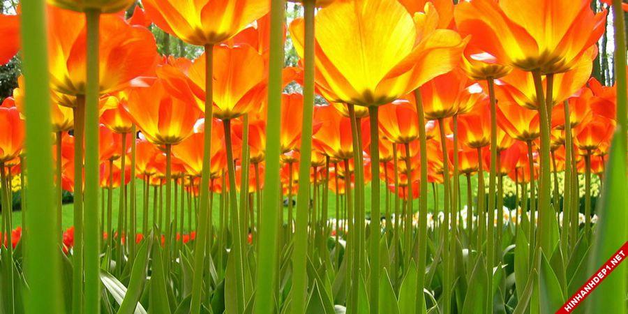 hinh-nen-hoa-tulip-full-hd-cuc-dep-cho-may-tinh (4)