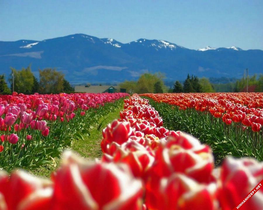 hinh-nen-hoa-tulip-full-hd-cuc-dep-cho-may-tinh (7)