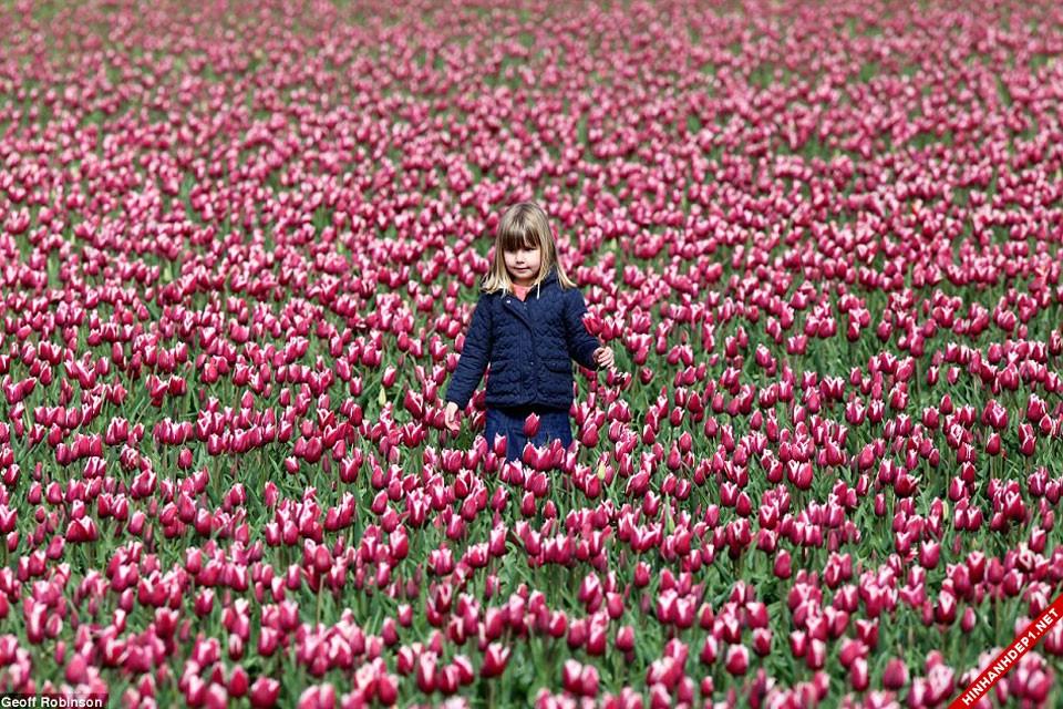 hinh-nen-hoa-tulip-full-hd-cuc-dep-cho-may-tinh (9)