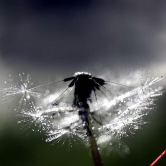 Bộ hình nền hoa bồ công anh đẹp nhất