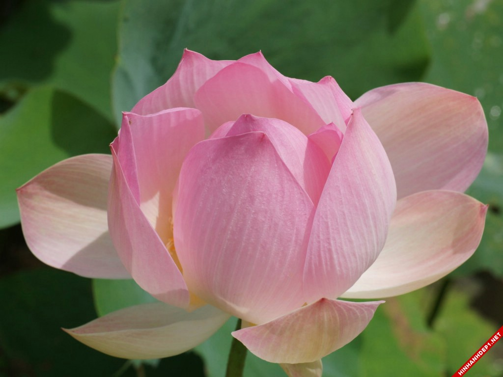 Ảnh chụp cận cảnh hoa sen tuyệt đẹp thấy rõ từng đường vân trên cánh hoa