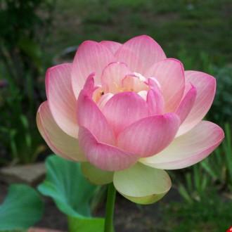 Cận cảnh hoa sen tuyệt đẹp làm hình nền