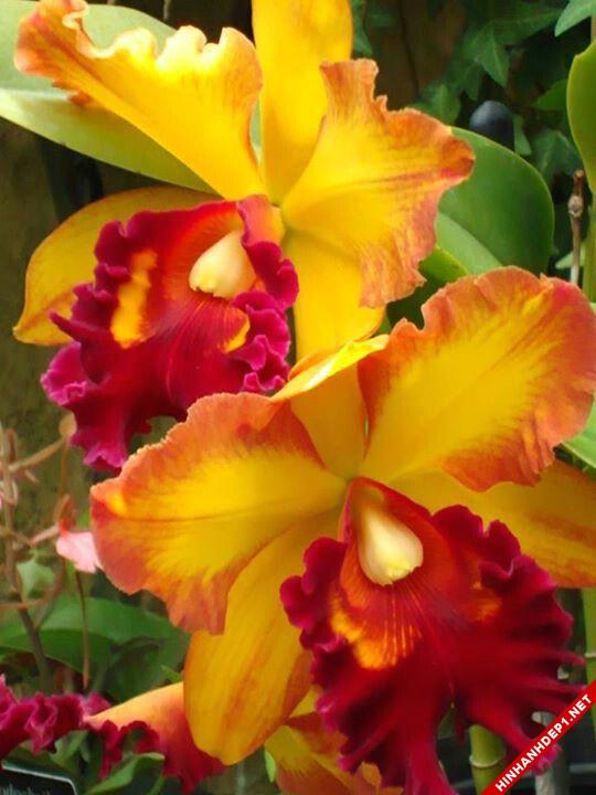 Hình ảnh nền các loại hoa lan đẹp cho máy tính (10)