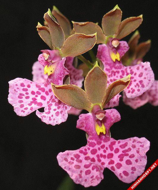 Hình ảnh nền các loại hoa lan đẹp cho máy tính (12)