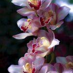 Hình ảnh nền các loại hoa lan đẹp cho máy tính