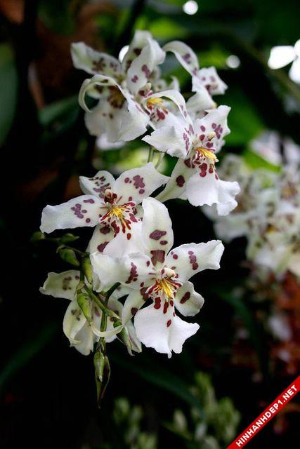 Hình ảnh nền các loại hoa lan đẹp cho máy tính (16)