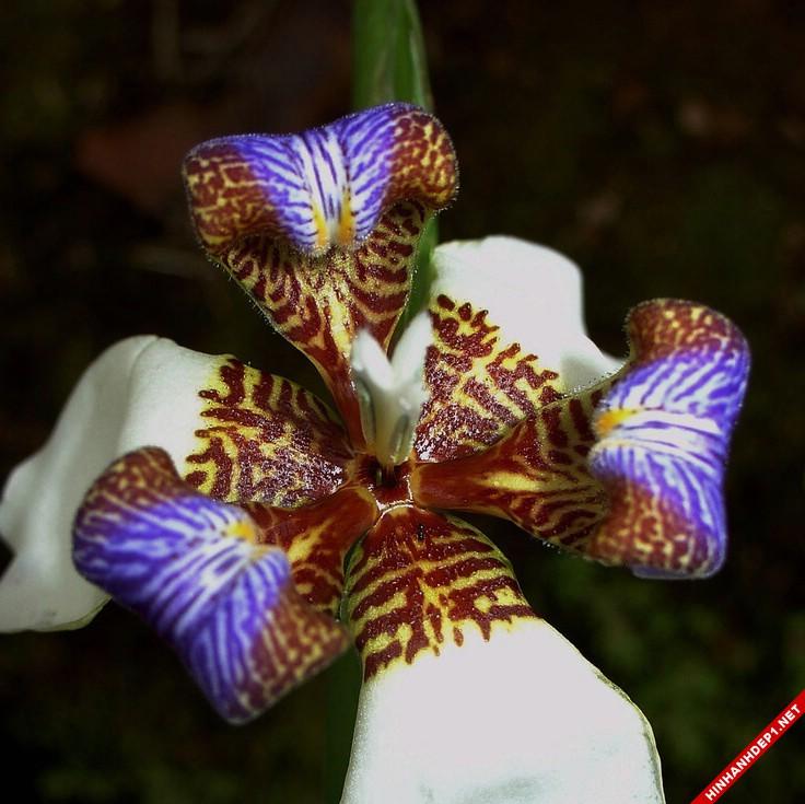 Hình ảnh nền các loại hoa lan đẹp cho máy tính (4)
