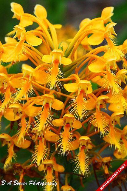 Hình ảnh nền các loại hoa lan đẹp cho máy tính (6)