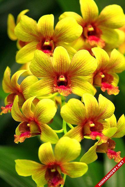 Hình ảnh nền các loại hoa lan đẹp cho máy tính (8)
