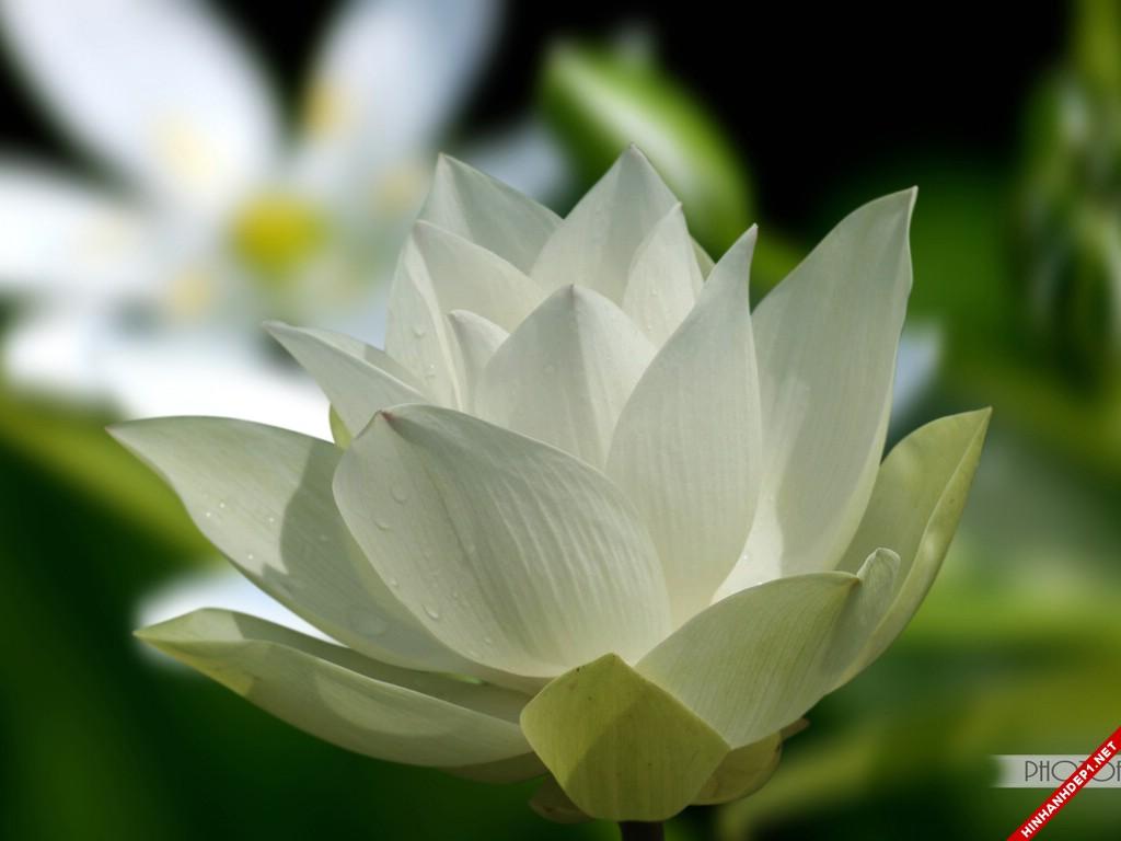 nhung-buc-anh-hoa-sen-trang-dep-tinh-khiet (15)