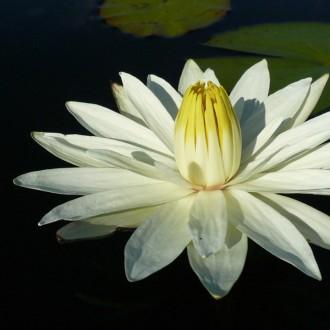 Những bức ảnh hoa sen trắng đẹp tinh khiết
