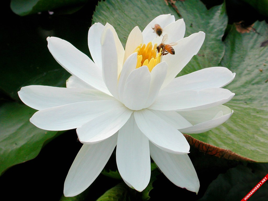 nhung-buc-anh-hoa-sen-trang-dep-tinh-khiet (8)