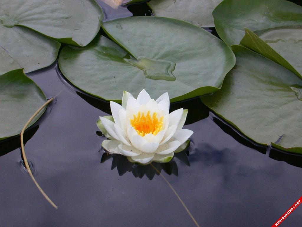 nhung-buc-anh-hoa-sen-trang-dep-tinh-khiet (9)