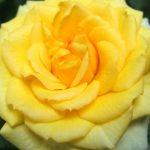 Vẻ đẹp rạng ngời chói sáng của hoa hồng vàng