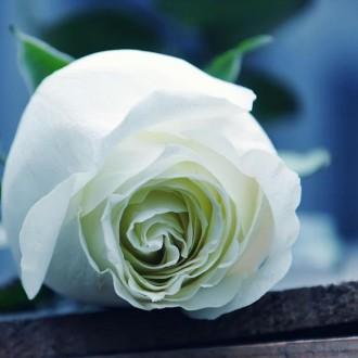 Long lanh với hình nền hoa hồng trắng
