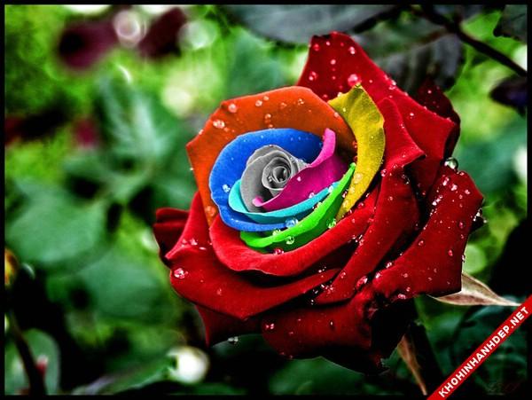 Hình nền hoa hồng bảy màu đẹp rực rỡ