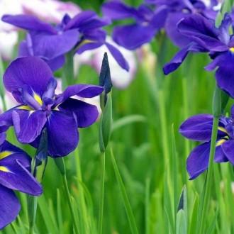 Bộ ảnh đẹp mơ màng với sắc tím của hoa diên vĩ