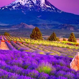 Cùng ngắm cánh đồng hoa oải hương tuyệt đẹp trên đất Pháp