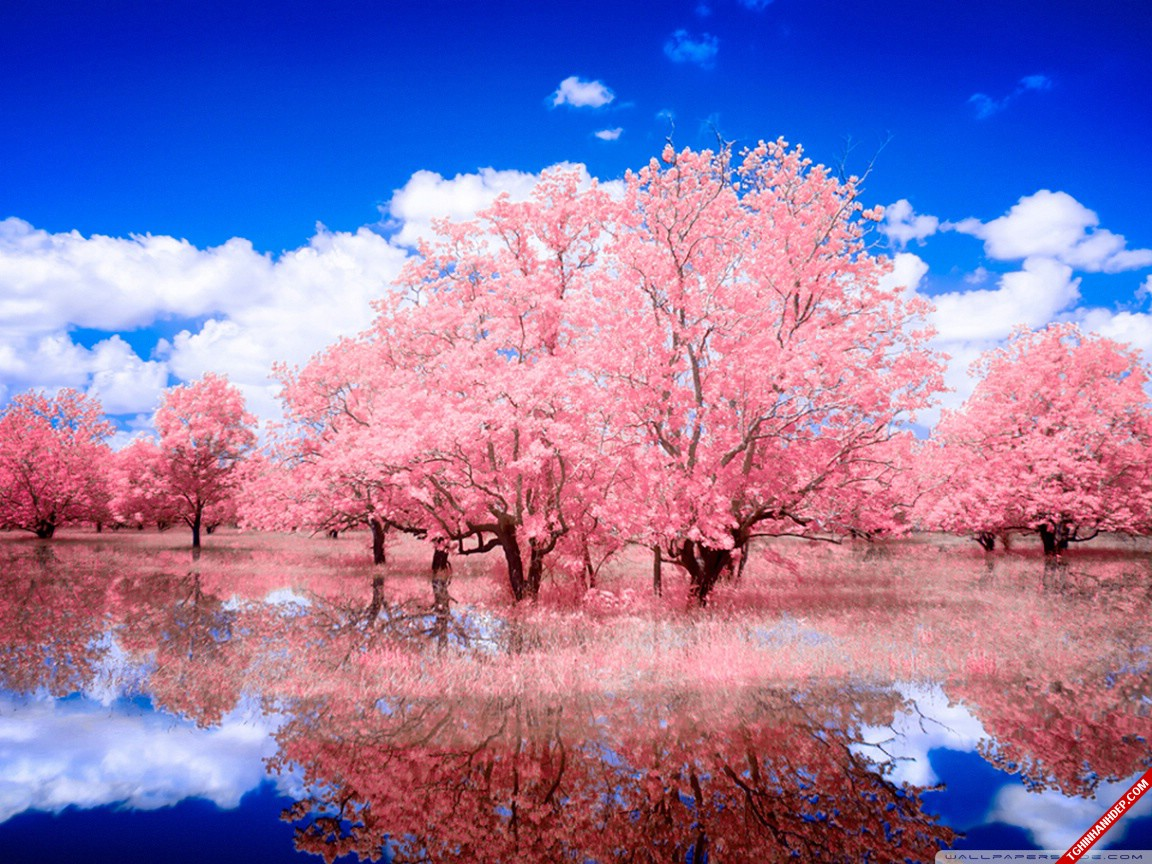 Đắm mình trong không gian lãng mạn với rừng cây màu hồng