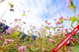 Phượt lên Hà Giang ngắm hoa tam giác mạch cuối thu