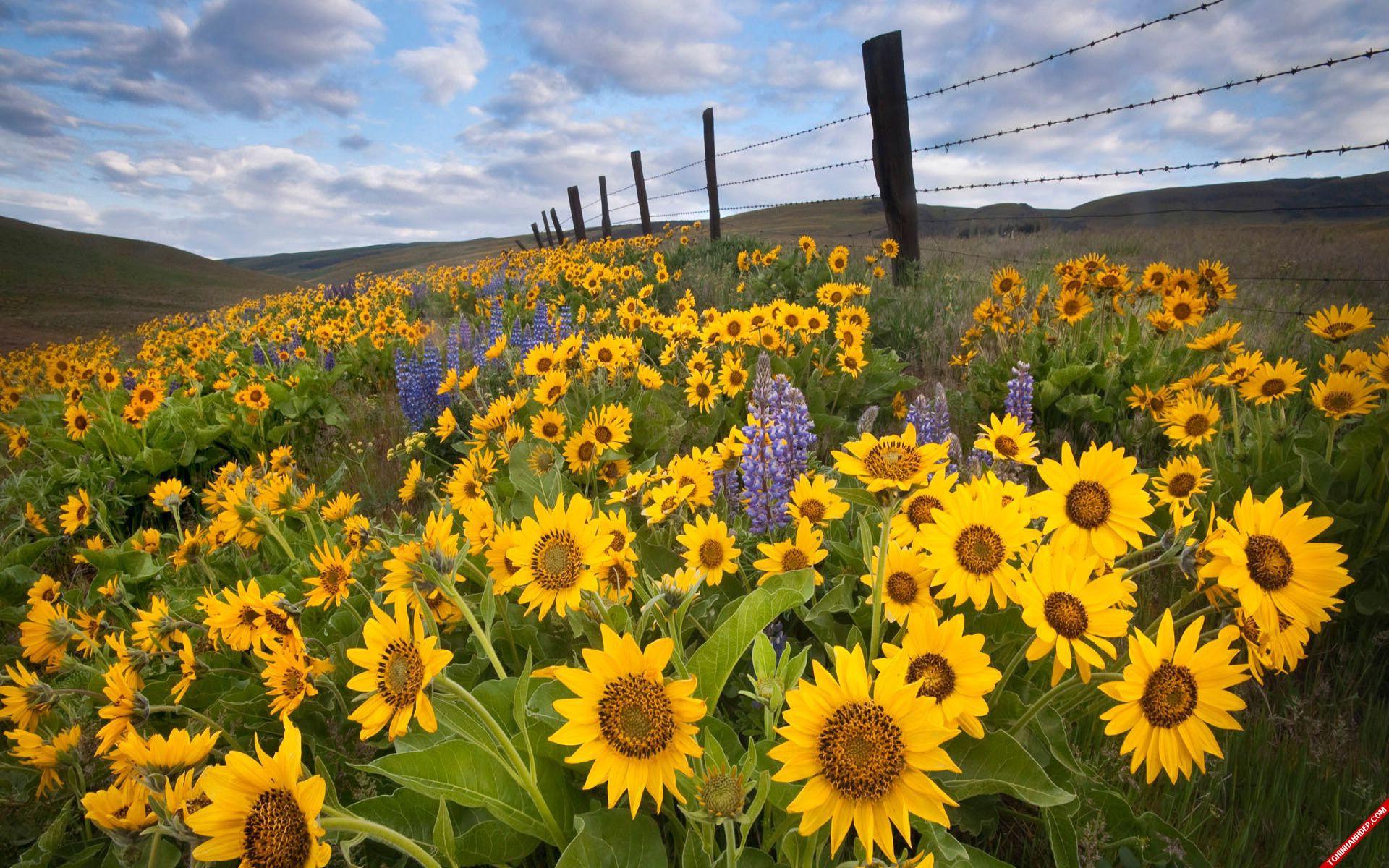 Vẻ đẹp rực rỡ của những cánh đồng hoa hướng dương