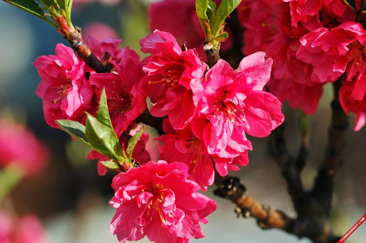 Bộ sưu tập ảnh đẹp về hoa đào khi xuân về