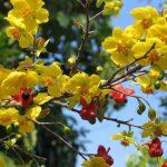 Rộn ràng đón Tết với hình ảnh hoa mai nở rộ