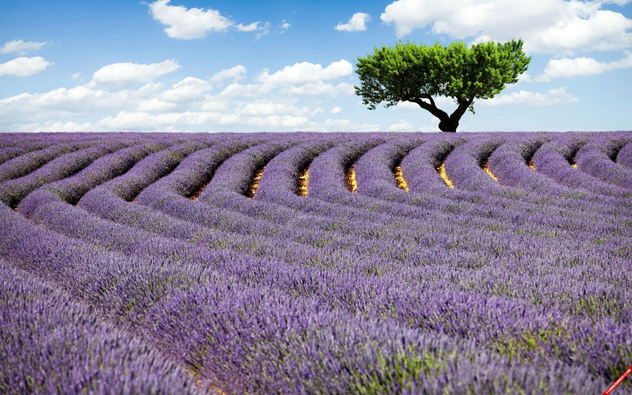 Ngắm những cánh đồng hoa oải hương sắc tím ngọt ngào