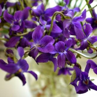 Ngắm vẻ đẹp nhẹ nhàng tinh tế của hoa violet