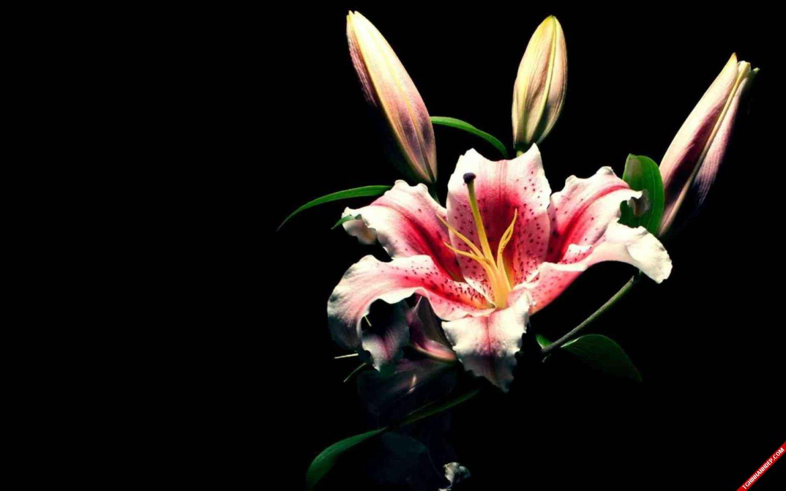 Ngất ngây với những hình ảnh hoa ly đẹp rực rỡ