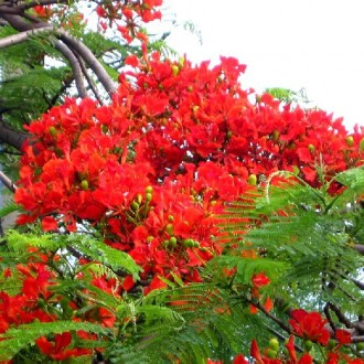 Hình ảnh đẹp về hoa phượng đỏ mỗi khi hè về