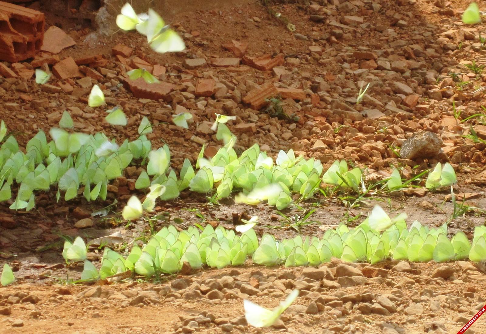 Tháng 4 Tây Nguyên: mùa bướm bay và hoa muồng vàng