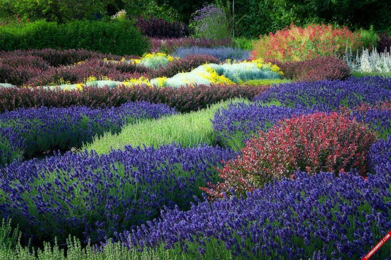 Bộ ảnh đẹp về hoa oải hương sắc tím lãng mạn